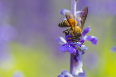 Bee busy drinking nectar from the flower Stock Images