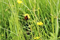 Bee on buttercup Royalty Free Stock Photos