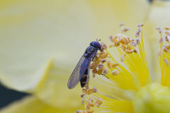 Bee on buttercup Royalty Free Stock Image