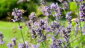 Bee and butterflies in the lavender field, pollinating flowers. Bee in the lavender field, pollinating flowers in the summer stock footage