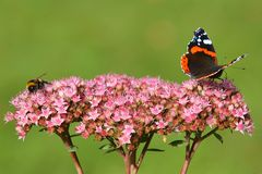 Bee and Butterfly on Pink Flower. Red Admiral butterfly and bumble bee on top of a pink flower called Autumn Joy Royalty Free Stock Image