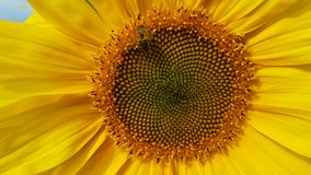 A bee buzzing around a sunflower. Close up. Wind and bee sound. stock video footage
