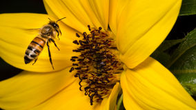 Bee Buzzing Around Sunflower Stock Images