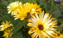 Bee on Calendula Stock Photos