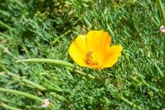 Bee in California poppy Eschscholzia californica is blooming. Orange flower. Bee in California poppy Eschscholzia californica is blooming. Orange flower stock images