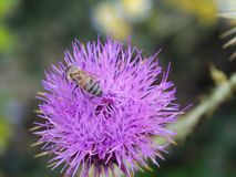 Thistle and bee. The bee in the camel thorn plant. they & x27;re collecting plant extract thistle weed aryan insect vermin pollen self collection picker royalty free stock photos