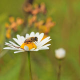 Bee on camomile Stock Image