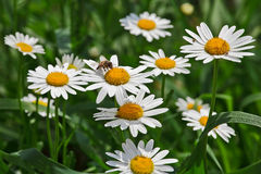 Bee on camomile. Closeup view on bee sitting on camomile on spring meadow in Piedmont, Northern Italy Stock Photography