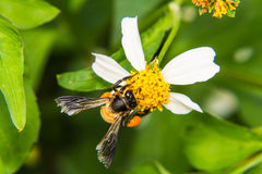 Bee on camomile Stock Images