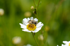 Bee on camomile royalty free stock photo