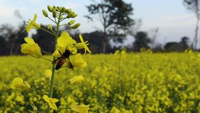 Bee on canola flowers stock video footage