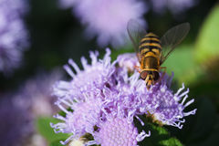 Bee carabinae sitting on purple flower ageratum Royalty Free Stock Image