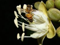 Bee on Carob Tree Flower Stock Photo