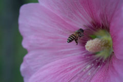Bee and carpel of pink flower. Macro photography Stock Photos