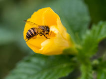 The bee is carrying the pollen and attaching to its legs. Stock Photos