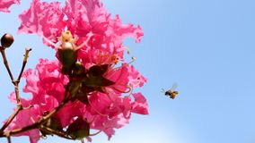 Bee carrying pollen from Crape myrtle royalty free stock photos