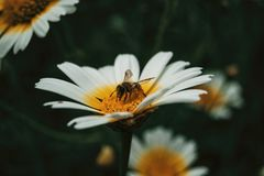 Bee catching pollen from a white daisy. Close up view stock photo