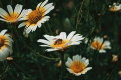bee catching pollen from a white daisy Stock Photo