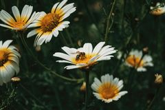 Bee catching pollen from a white daisy. Close up view stock image