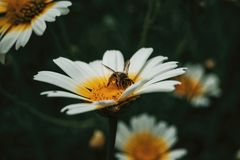Bee catching pollen from a white daisy. Close up view royalty free stock photo
