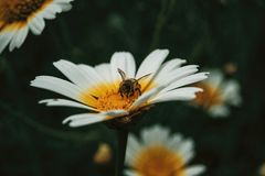 Bee catching pollen from a white daisy. Close up view stock images