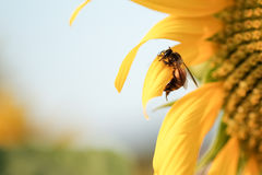 Bee catching on a sunflower Stock Images