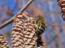 Bee on catkins Royalty Free Stock Image