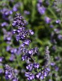 Bee on Catmint Royalty Free Stock Photos