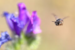Bee caught in midair. Bee looking for pollen caught in midair royalty free stock photo
