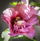 Bee in the Center. Bee inside a pink flower in Utah USA Royalty Free Stock Photo