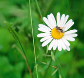 Bee on chamomile Royalty Free Stock Photography