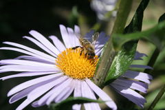 Bee+chamomile bee+chamomile bee+chamomile Stock Images