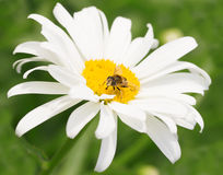 Bee on chamomile collecting honey Stock Photography