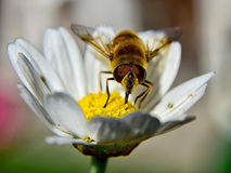 Bee on chamomile Royalty Free Stock Images