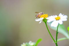 Bee on the chamomile flower.  Stock Photos