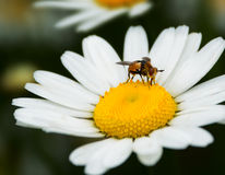 Bee on the chamomile flower Stock Photos