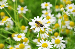 Bee on the chamomile flower Stock Photo