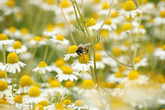 Bee on chamomile flower nature background Stock Photos