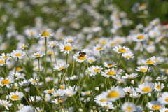 Bee on chamomile flower Royalty Free Stock Photography