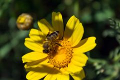 Bee on the chamomile flower. Sunny day. Spring. Bee on the chamomile flower. Sunny day Royalty Free Stock Image