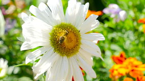 Bee on a chamomile stock footage