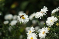 Bee on a chamomile Royalty Free Stock Photo