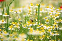 Bee on chamomile wild flower Royalty Free Stock Images