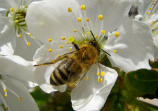 Bee on a cheery blossom. Honey bee on a white cheery blossom in its daily routine... Super-macro photo Stock Images