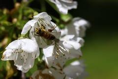 Bee on cherry blossom. Close-up on bee on cherry tree blossom stock photos