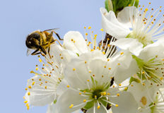 Bee on Cherry blossom Royalty Free Stock Image