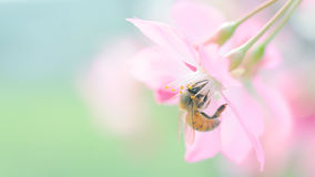 Bee and cherry blossom. Honey bee on cherry blossom collecting pollen stock photos