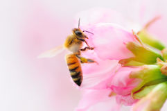 Bee and cherry blossom stock images