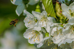 Bee in cherry blossom stock photos