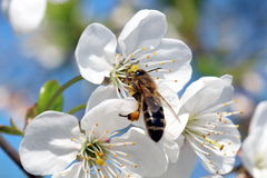 Bee and cherry blossom. Bee pollination of cherry blossom Royalty Free Stock Image